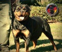 4x6-dkv-rottweilers-rottweiler-puppies-for-sale-bella-von-der-korperkraft-2