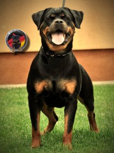 https://www.german-rottweiler-puppies-for-sale.com